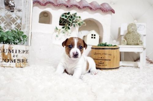ジャックラッセルテリアの子犬(ID:1255411369)の3枚目の写真/更新日:2019-05-02