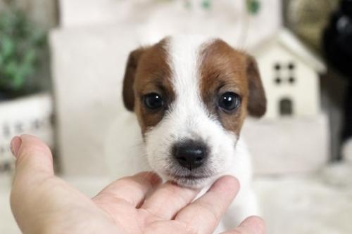 ジャックラッセルテリアの子犬(ID:1255411370)の1枚目の写真/更新日:2019-02-18