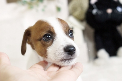 ジャックラッセルテリアの子犬(ID:1255411370)の2枚目の写真/更新日:2019-02-18