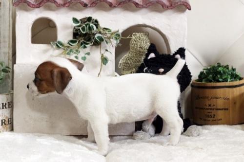 ジャックラッセルテリアの子犬(ID:1255411370)の4枚目の写真/更新日:2020-09-26