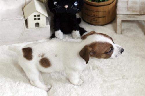 ジャックラッセルテリアの子犬(ID:1255411370)の5枚目の写真/更新日:2020-09-26