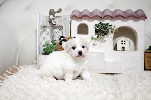 ビションフリーゼの子犬(ID:1255411378)の1枚目の写真/更新日:2019-02-18