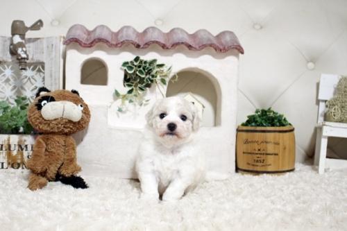 ビションフリーゼの子犬(ID:1255411378)の2枚目の写真/更新日:2019-02-18