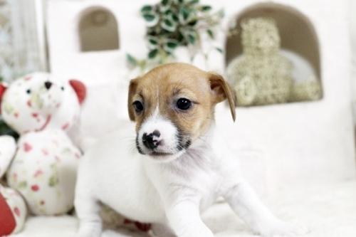ジャックラッセルテリアの子犬(ID:1255411379)の2枚目の写真/更新日:2019-02-18