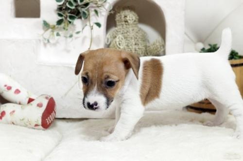 ジャックラッセルテリアの子犬(ID:1255411379)の3枚目の写真/更新日:2019-02-18