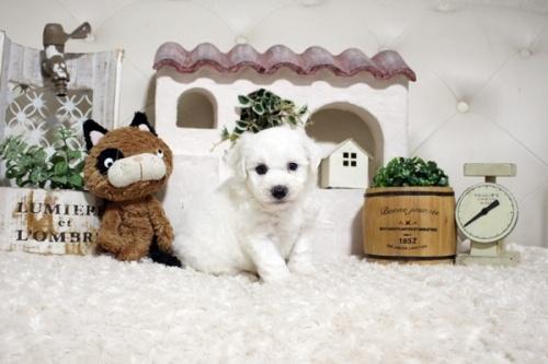 ビションフリーゼの子犬(ID:1255411383)の1枚目の写真/更新日:2021-08-16