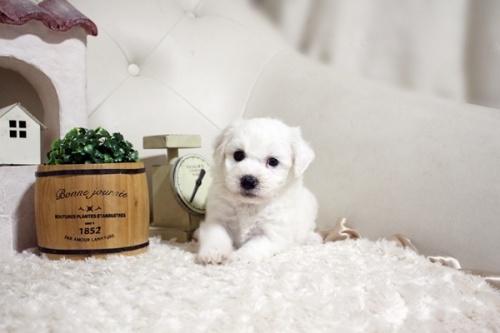 ビションフリーゼの子犬(ID:1255411383)の2枚目の写真/更新日:2021-08-16