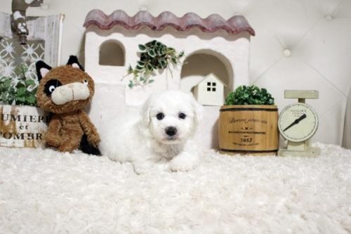 ビションフリーゼの子犬(ID:1255411383)の3枚目の写真/更新日:2021-08-16
