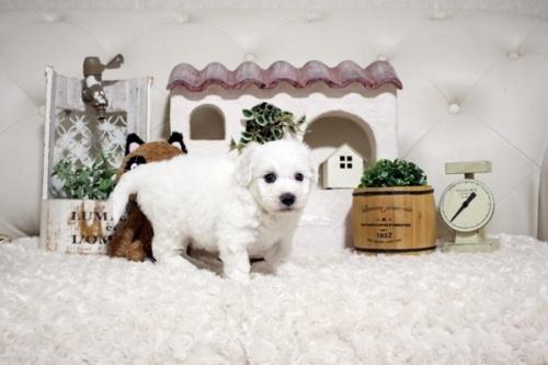 ビションフリーゼの子犬(ID:1255411383)の4枚目の写真/更新日:2021-08-16