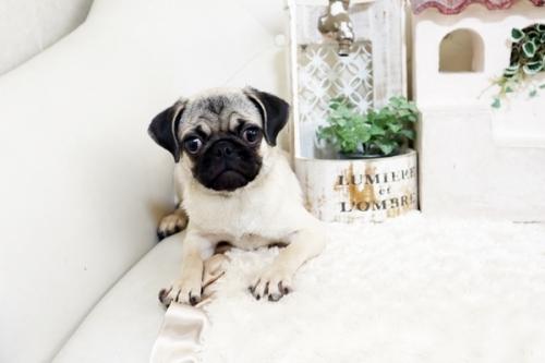パグの子犬(ID:1255411387)の2枚目の写真/更新日:2019-10-23