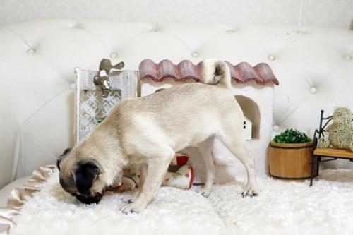 パグの子犬(ID:1255411387)の4枚目の写真/更新日:2021-06-14