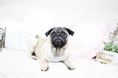 パグの子犬(ID:1255411388)の1枚目の写真/更新日:2020-01-09
