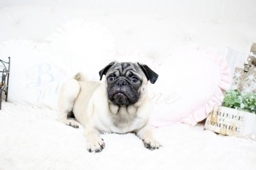 パグの子犬(ID:1255411388)の2枚目の写真/更新日:2020-01-09
