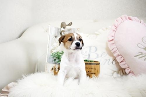 ジャックラッセルテリアの子犬(ID:1255411392)の1枚目の写真/更新日:2019-02-08