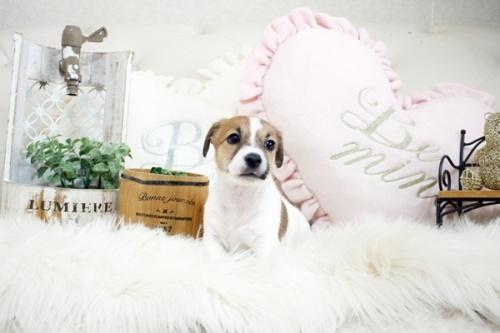 ジャックラッセルテリアの子犬(ID:1255411392)の2枚目の写真/更新日:2019-02-08