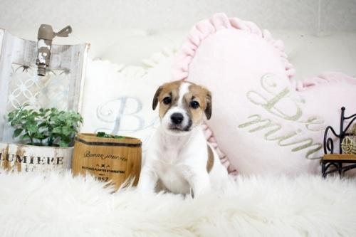 ジャックラッセルテリアの子犬(ID:1255411392)の3枚目の写真/更新日:2019-02-08