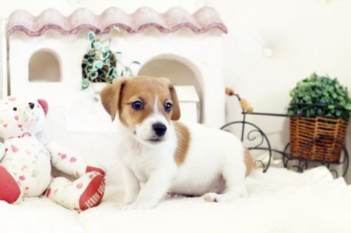 ジャックラッセルテリアの子犬(ID:1255411394)の1枚目の写真/更新日:2020-03-12