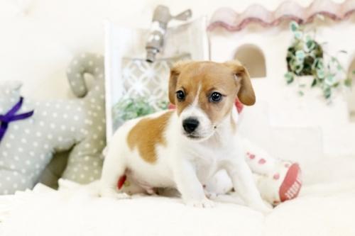 ジャックラッセルテリアの子犬(ID:1255411394)の2枚目の写真/更新日:2020-03-12