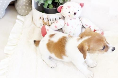 ジャックラッセルテリアの子犬(ID:1255411394)の3枚目の写真/更新日:2020-03-12