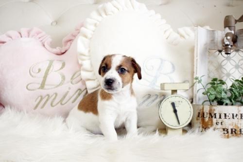 ジャックラッセルテリアの子犬(ID:1255411395)の1枚目の写真/更新日:2018-08-02