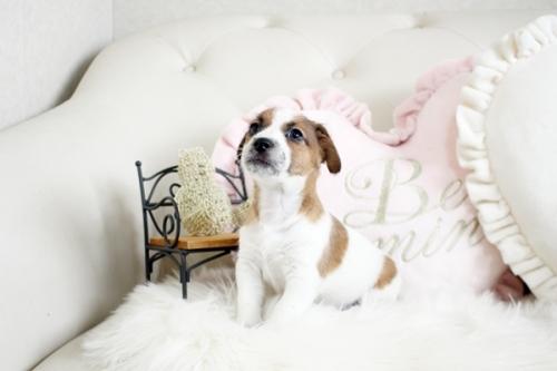 ジャックラッセルテリアの子犬(ID:1255411395)の3枚目の写真/更新日:2018-08-02