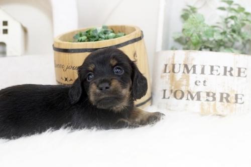 カニンヘンダックスフンド(ロング)の子犬(ID:1255411406)の1枚目の写真/更新日:2020-04-28