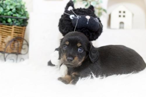 カニンヘンダックスフンド(ロング)の子犬(ID:1255411406)の2枚目の写真/更新日:2020-04-28