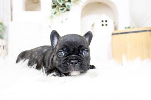 フレンチブルドッグの子犬(ID:1255411410)の1枚目の写真/更新日:2019-05-27