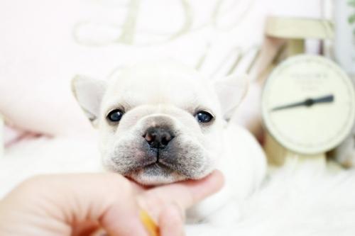 フレンチブルドッグの子犬(ID:1255411411)の1枚目の写真/更新日:2020-06-08