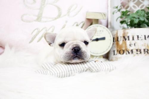 フレンチブルドッグの子犬(ID:1255411411)の3枚目の写真/更新日:2020-06-08