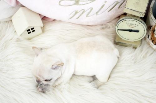 フレンチブルドッグの子犬(ID:1255411411)の4枚目の写真/更新日:2021-08-09