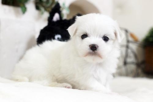 マルチーズの子犬(ID:1255411412)の1枚目の写真/更新日:2019-03-06