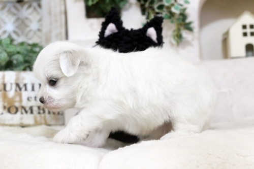 マルチーズの子犬(ID:1255411412)の2枚目の写真/更新日:2019-03-06