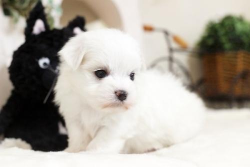 マルチーズの子犬(ID:1255411412)の3枚目の写真/更新日:2019-03-06