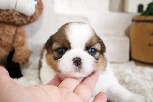 シーズーの子犬(ID:1255411413)の1枚目の写真/更新日:2019-09-03