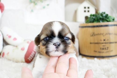 シーズーの子犬(ID:1255411414)の1枚目の写真/更新日:2019-09-03