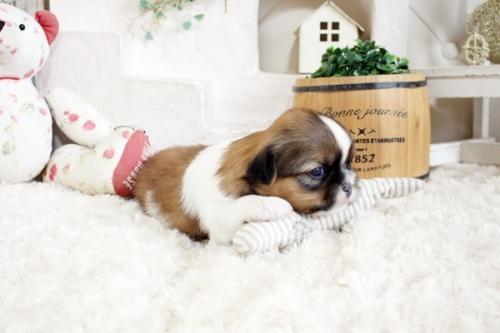 シーズーの子犬(ID:1255411414)の2枚目の写真/更新日:2019-09-03