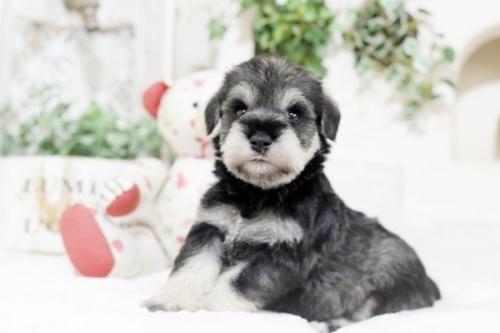 ミニチュアシュナウザーの子犬(ID:1255411415)の1枚目の写真/更新日:2018-11-23