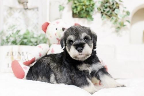 ミニチュアシュナウザーの子犬(ID:1255411415)の2枚目の写真/更新日:2018-11-23