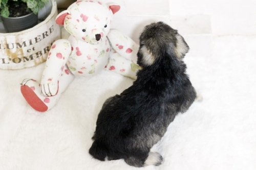 ミニチュアシュナウザーの子犬(ID:1255411415)の3枚目の写真/更新日:2018-11-23