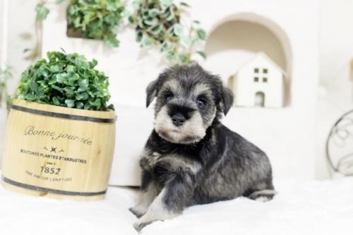 ミニチュアシュナウザーの子犬(ID:1255411416)の1枚目の写真/更新日:2018-11-23