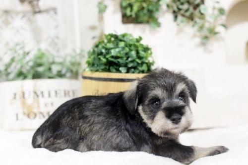 ミニチュアシュナウザーの子犬(ID:1255411416)の2枚目の写真/更新日:2018-11-23