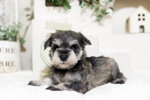 ミニチュアシュナウザーの子犬(ID:1255411417)の1枚目の写真/更新日:2018-11-23