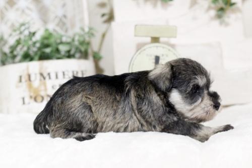 ミニチュアシュナウザーの子犬(ID:1255411417)の2枚目の写真/更新日:2018-11-23