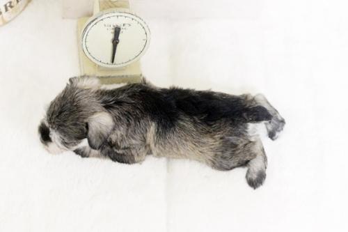ミニチュアシュナウザーの子犬(ID:1255411417)の3枚目の写真/更新日:2018-11-23