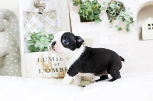 ボストンテリアの子犬(ID:1255411419)の2枚目の写真/更新日:2019-06-02