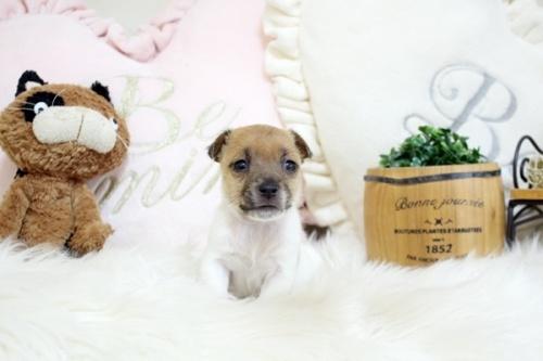 ジャックラッセルテリアの子犬(ID:1255411420)の2枚目の写真/更新日:2018-07-02
