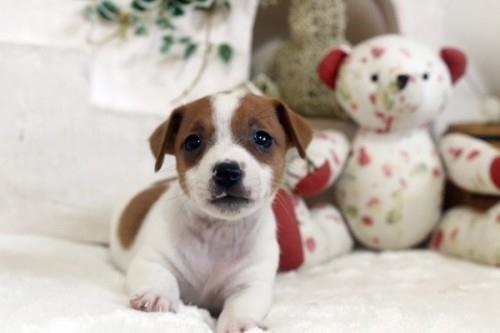 ジャックラッセルテリアの子犬(ID:1255411421)の1枚目の写真/更新日:2020-05-13