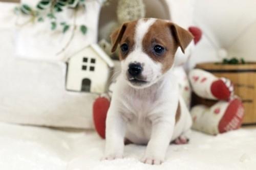 ジャックラッセルテリアの子犬(ID:1255411421)の2枚目の写真/更新日:2020-05-13