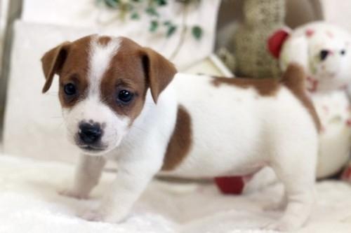 ジャックラッセルテリアの子犬(ID:1255411421)の3枚目の写真/更新日:2018-08-02